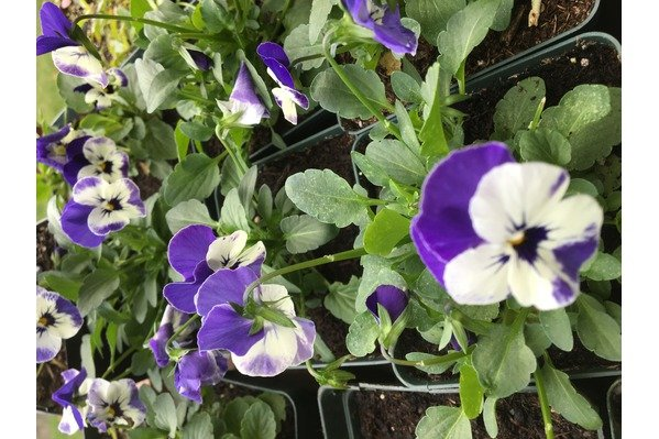 Delft Blue Viola in the SunPod greenhouse