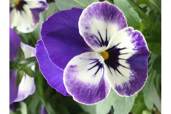 Delft Blue Viola