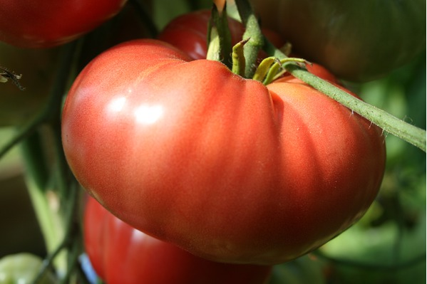 Brandywine, an indeterminate Tomato